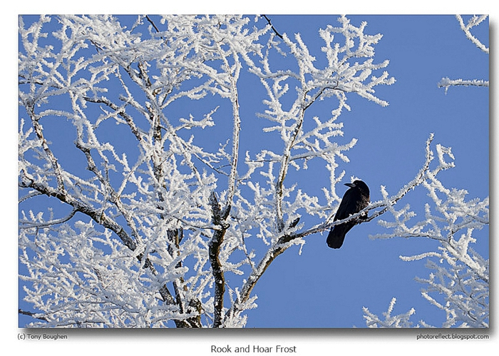 Tony Boughen.Rook-and-Hoar-Frost (700x499, 326Kb)