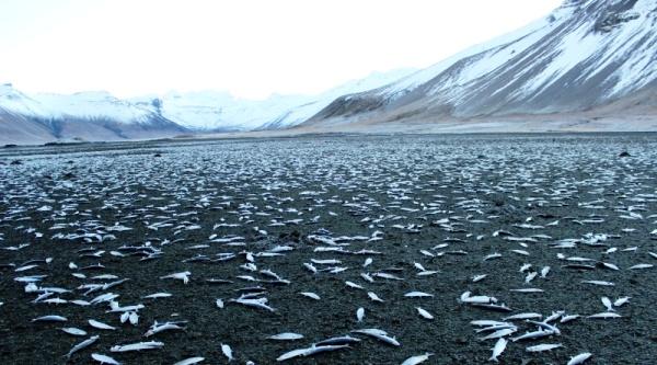 Исландия - массовая гибель рыбы 2 (600x333, 108Kb)