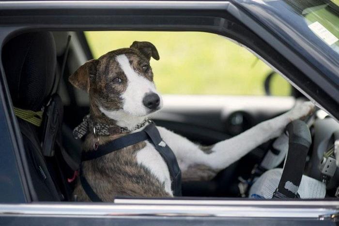 3925073_drivingdogs1 (700x466, 98Kb)