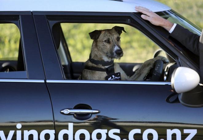 В Новой Зеландии открыли школу вождения для собак. Фото, видео