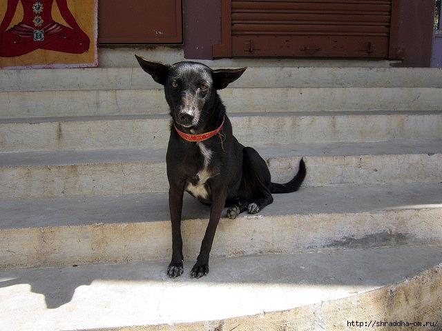 собака в Тируваннамалае  (640x480, 201Kb)