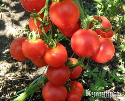 1308310948_tomaty-3 (500x406, 39Kb)
