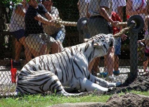 играющие тигры фото (500x358, 69Kb)