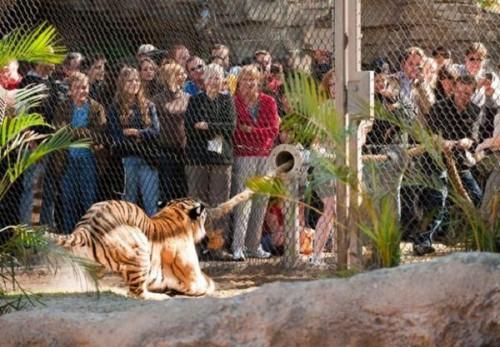 играющие тигры фото 2 (500x347, 65Kb)