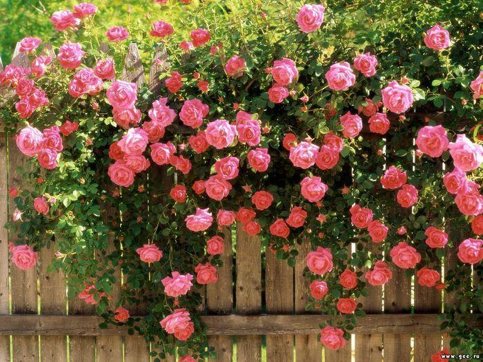 Садовые цветы и растения. 95348414_large_rozi