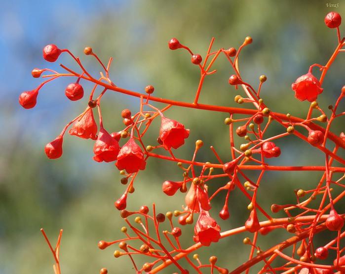 Брахихитон - Пламенное дерево (700x554, 101Kb)