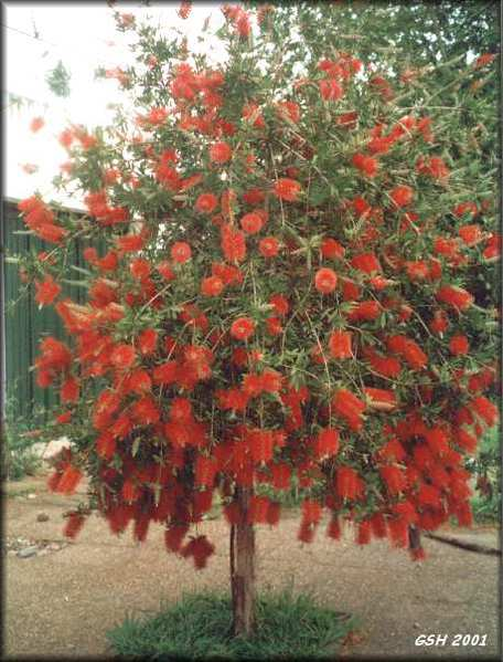 73109627_callistemon_tree_oct01bsas (456x599, 45Kb)