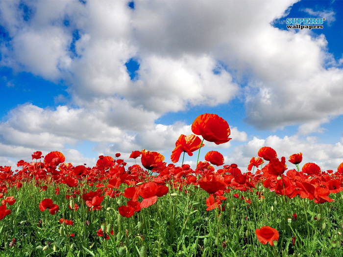 poppy-field-8257-800x600 (700x525, 213Kb)