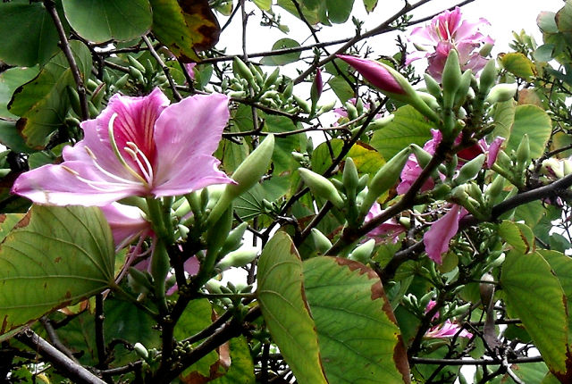 Баухиния . Орхидейное дерево .1 (640x430, 106Kb)