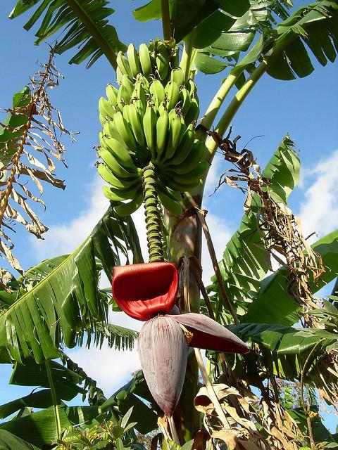 1. Банан (480x640, 111Kb)