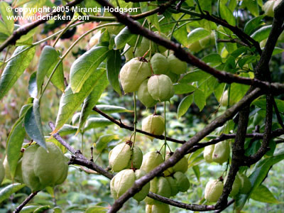 koelreuteria_paniculata_seeds (400x300, 53Kb)