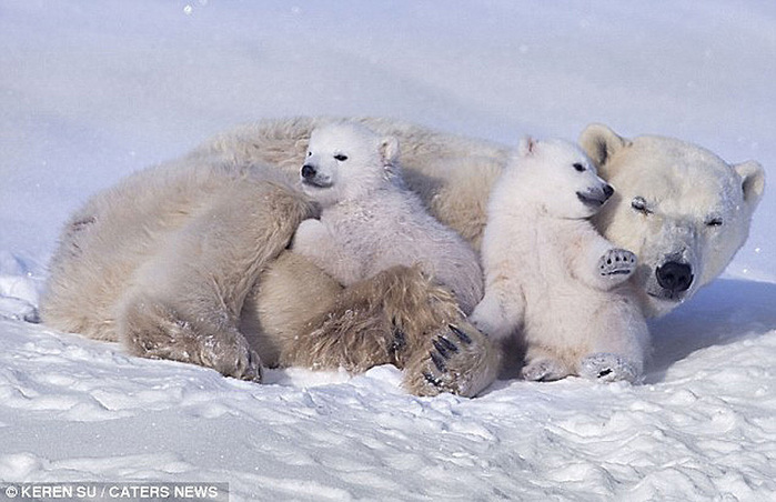 прикольные фото животных белые медведи 2 (700x452, 115Kb)