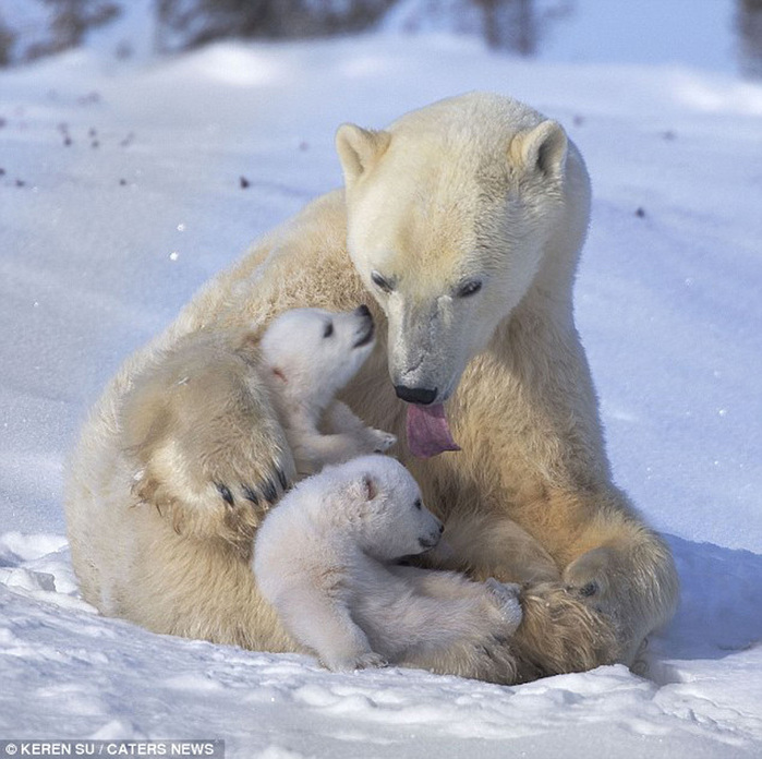 прикольные фото животных белые медведи 3 (700x696, 160Kb)