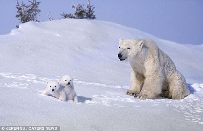 прикольные фото животных белые медведи 4 (700x451, 94Kb)