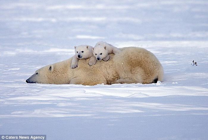 прикольные фото животных белые медведи 5 (700x472, 102Kb)