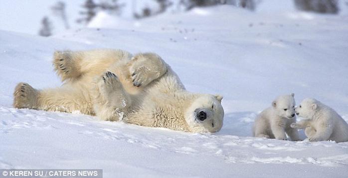 прикольные фото животных белые медведи 6 (700x357, 73Kb)