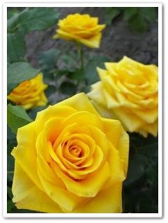 Черенкование роз (241x320, 23Kb)