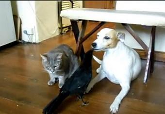 Ворона научилась кормить собаку и кота  (340x235, 31Kb)