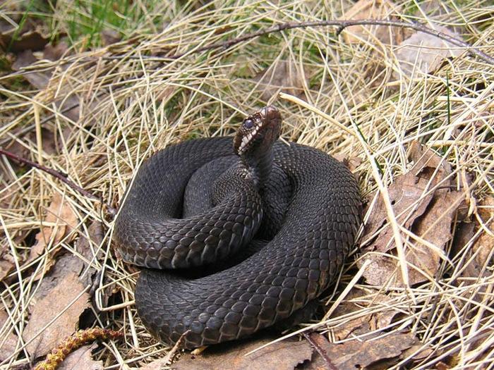 Ядовитые змеи самое интересное в