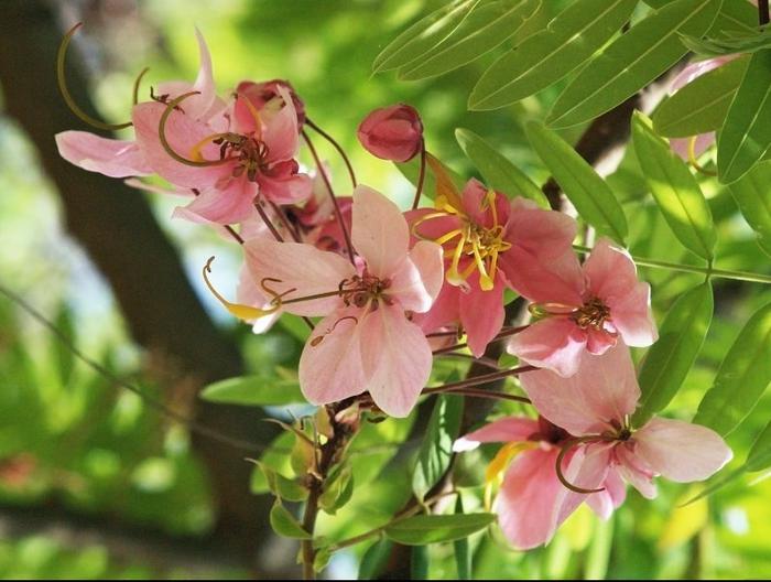 Cassia_javanica_flowers (700x528, 262Kb)
