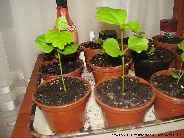 Травянистые гибискусы выращивание из семян 27