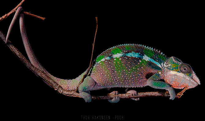 хамелион фото 10 (670x396, 49Kb)