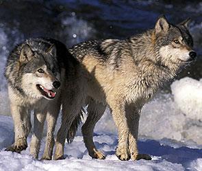 Волки в Якутии (295x249, 26Kb)