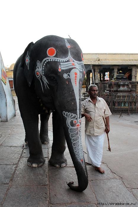 Индия, Канчипурам, храмовый слон, 2 (466x700, 245Kb)
