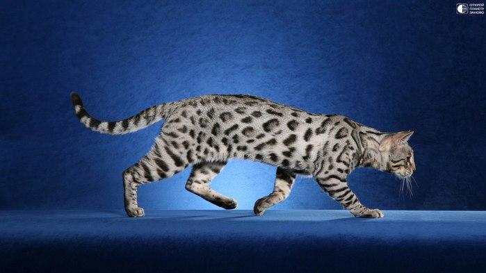 Кошки породы ашера (700x393, 46Kb)