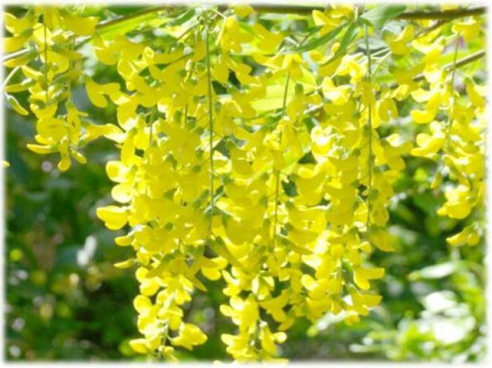 Бобовник золотой дождь
