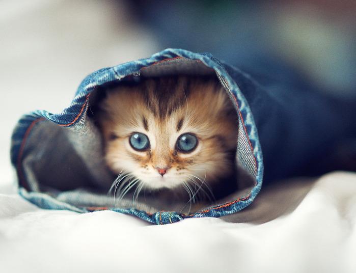 Daisy_kitten_1 (700x536, 84Kb)