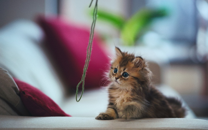 Daisy_kitten_16 (700x437, 67Kb)