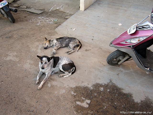 собака в Тируваннамалае 6 (640x480, 275Kb)