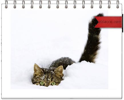 Кошки в Старый Новый год/3518263_kl (434x352, 132Kb)