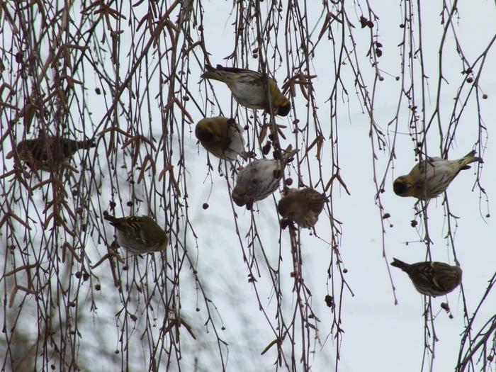 фото птицы синицы и соловей