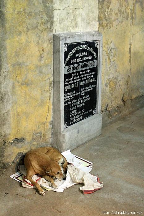 собака в Тируваннамалае 7 (466x700, 292Kb)