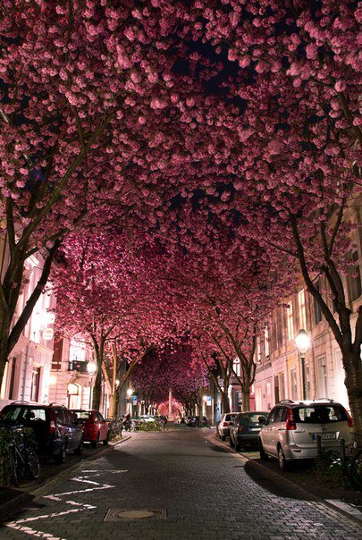 Проспект Цветущей вишни в старом городе Бонн. Германия (405x604, 91Kb)