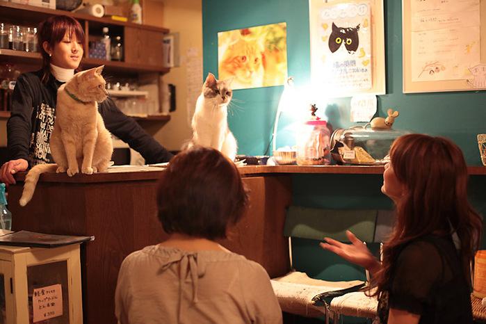 Cat cafe кошачье кафе в осаке 1 (700x466, 125Kb)