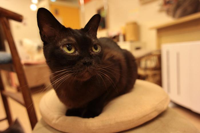 Cat cafe кошачье кафе в осаке 2 (700x466, 85Kb)