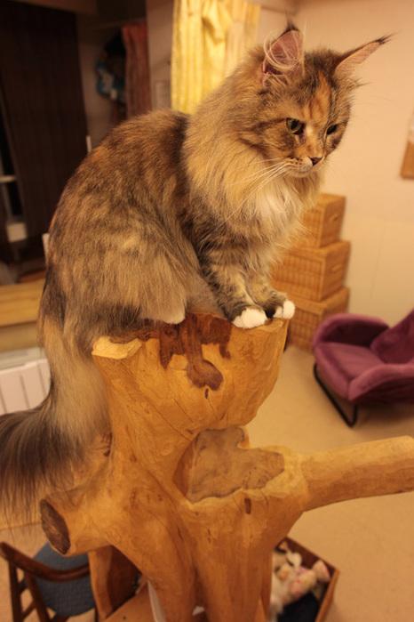 Cat cafe кошачье кафе в осаке 3 (466x700, 116Kb)