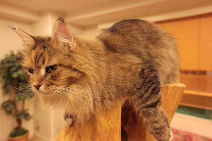 Cat cafe кошачье кафе в осаке 5 (700x466, 119Kb)