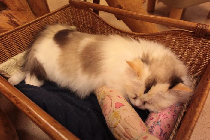 Cat cafe кошачье кафе в осаке 11 (700x466, 132Kb)