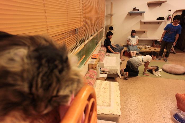 Cat cafe кошачье кафе в осаке 12 (700x466, 138Kb)
