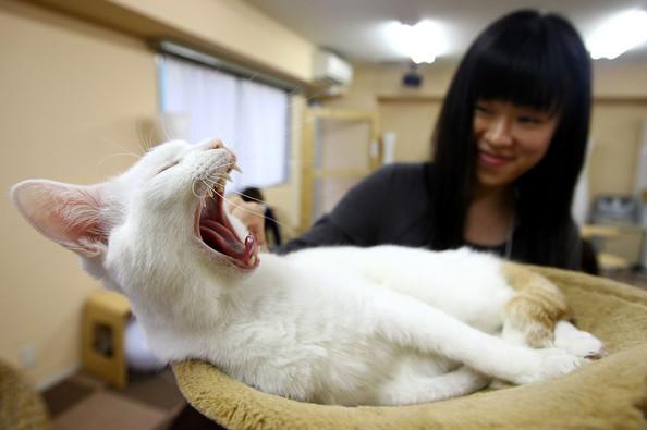 Cat cafe кошачье кафе в осаке 16 (594x395, 51Kb)