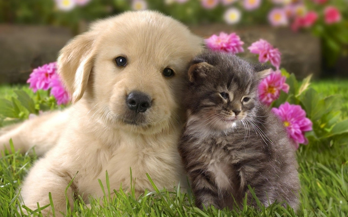 cats-and-dogs-wallpapers (700x437, 228Kb)