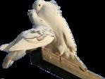 Превью Голуби (10) (149x112, 21Kb)