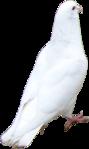 Превью Голуби (27) (89x149, 15Kb)