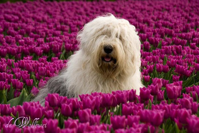 бобтейл фото собак 1 (700x466, 159Kb)
