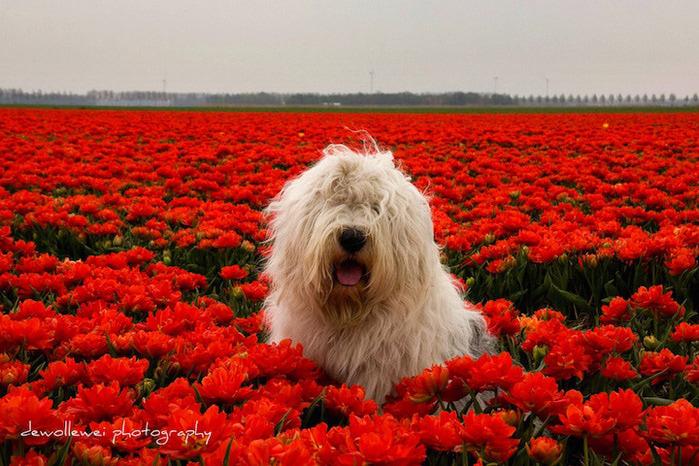 бобтейл фото собак 3 (700x466, 182Kb)