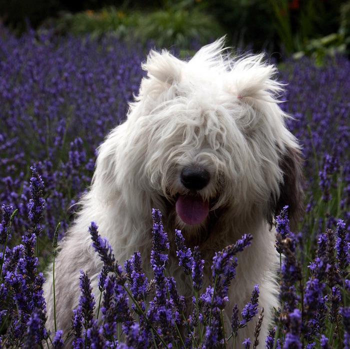 бобтейл фото собак 4 (700x699, 202Kb)